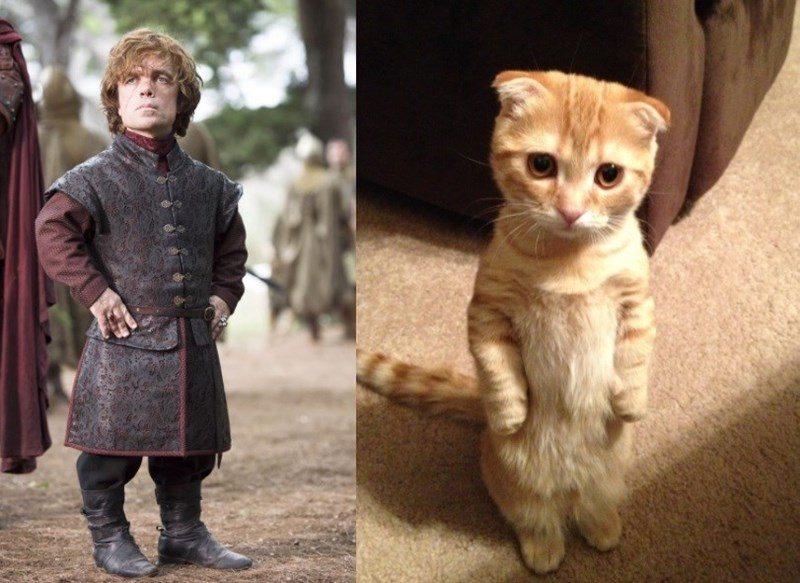 Standing up cat that looks like Tyrion Lannister
