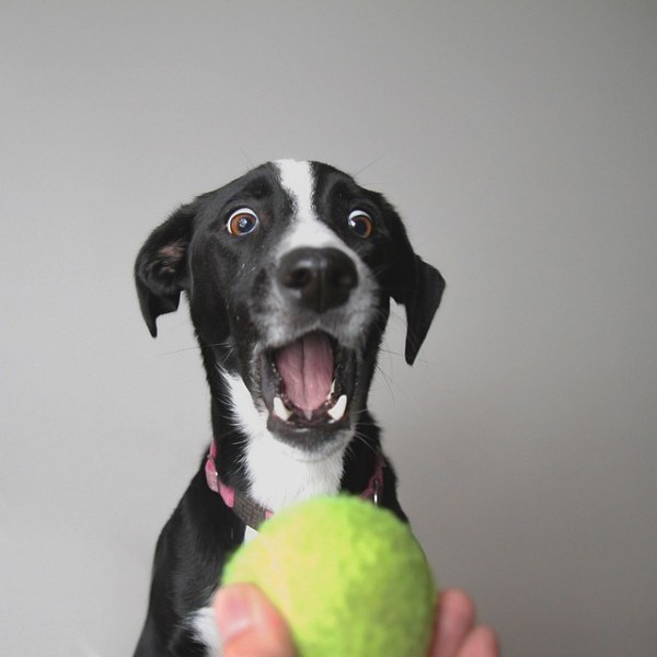 Dog shocked at being offered a tennis ball.
