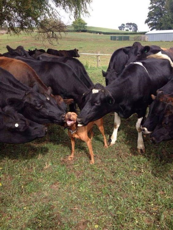 dog happy to be getting licked and loved by herd of cows