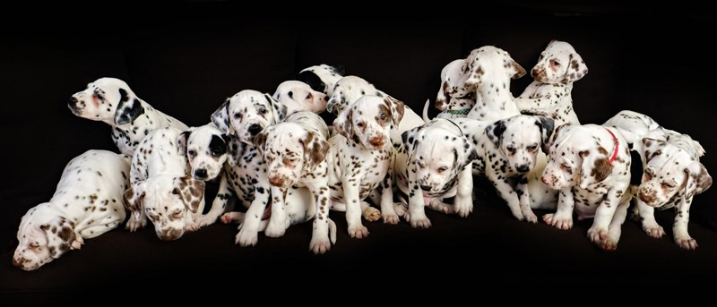 dalmatian dog in australia gives birth to 19 puppies breaking world record