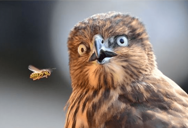 Owl surprised by the bee