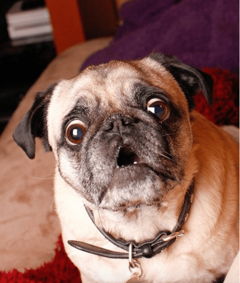 Surprised pug face