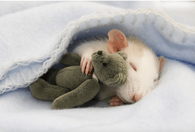 cute rat sleeping with teddy bear