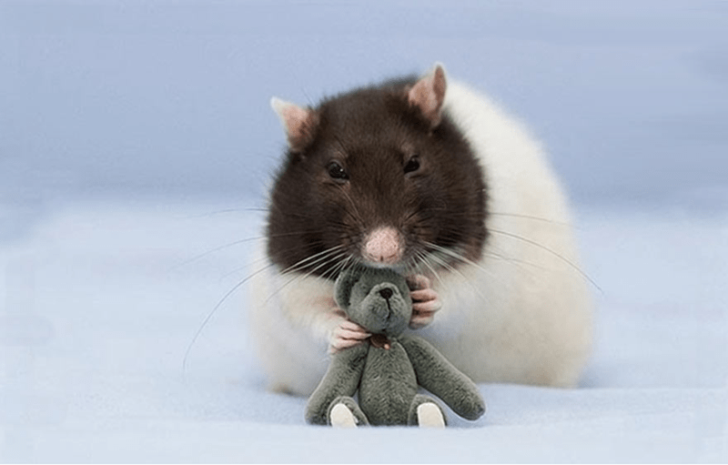 Rat chewing on the head of his little stuffed bear.