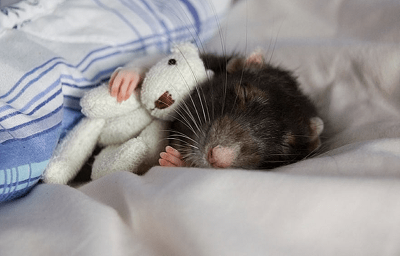 rat cuddling up with teddy bear and snuggling under a blanket