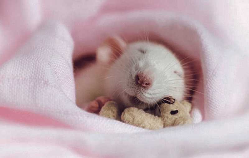 rat wrapped in pink blanket and snuggling with teddy bear