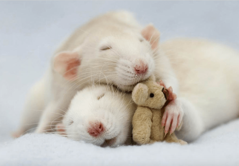 Rats napping with their teddy bear