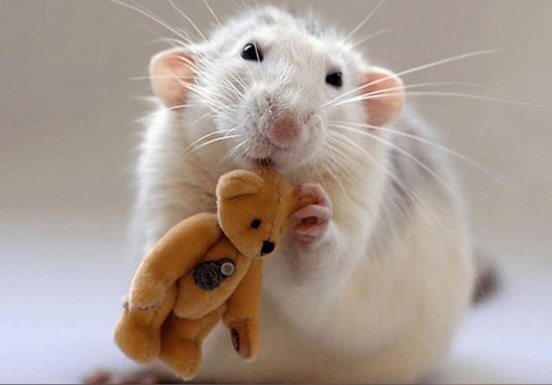 cute rats - Rat