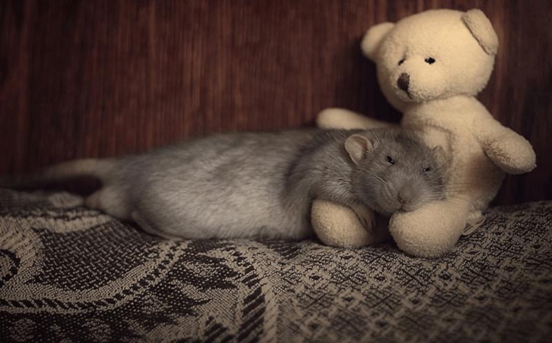 cute rats - Skin