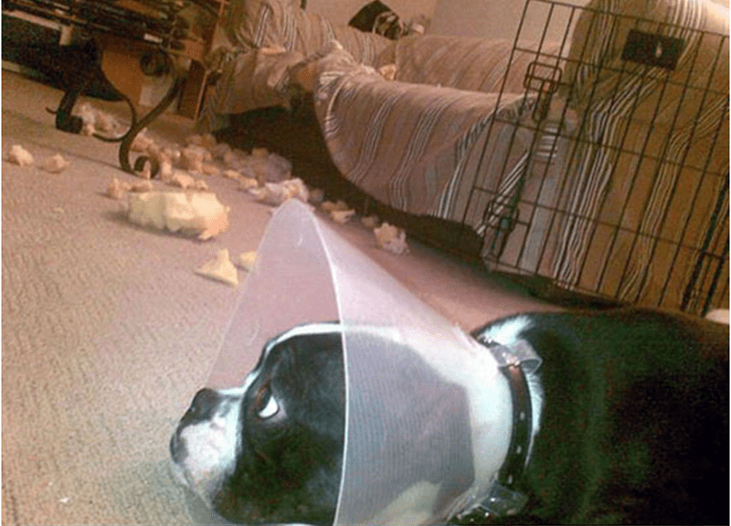 Dog wearing lampshade that still managed to chew up stuff.
