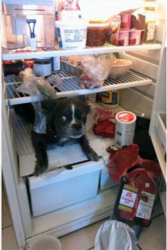 Dog that made a mess in the fridge and now has the crazy eyes.