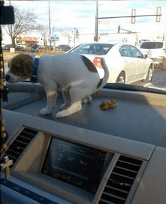 Dog pooping on the car dashboard.
