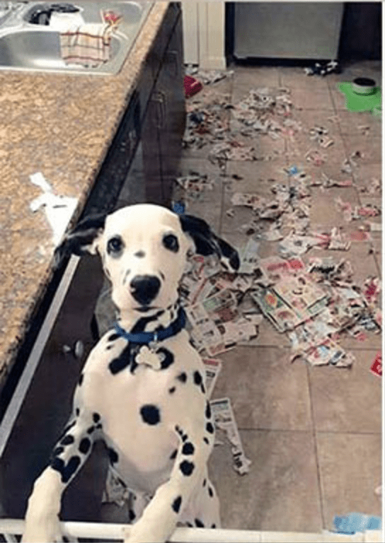 Dalmatian that made a huge mess on the floor.