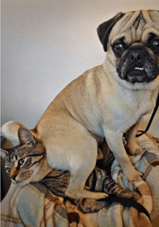 Pug sitting atop a cat.
