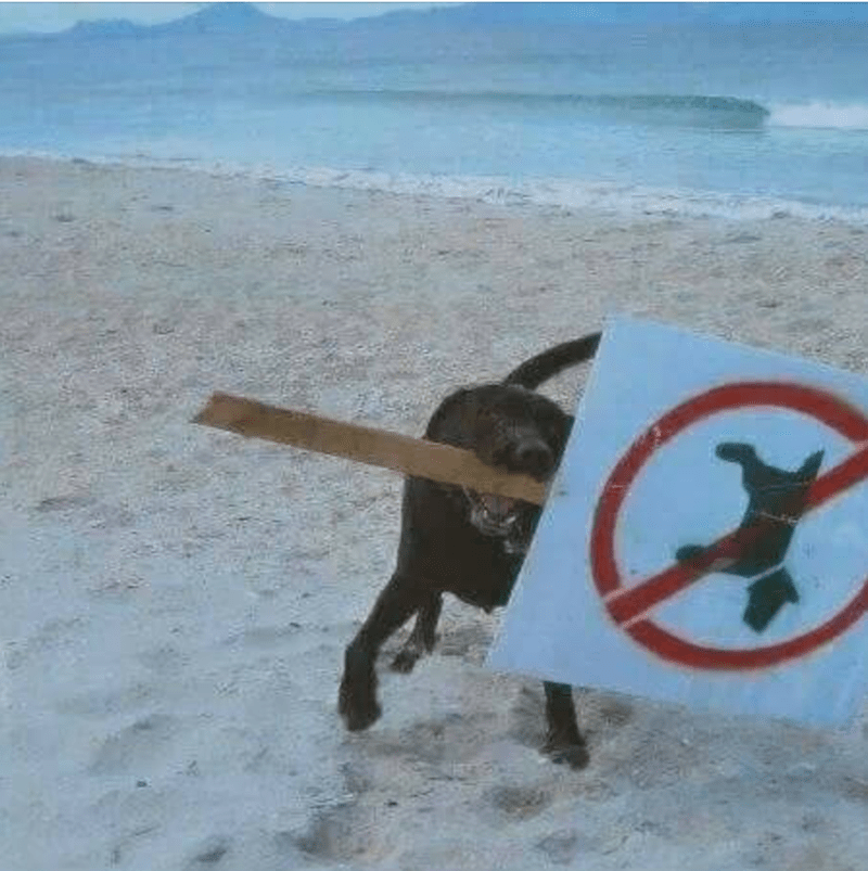 Dog carrying a no-dogs-allowed sign in his mouth on the beach.