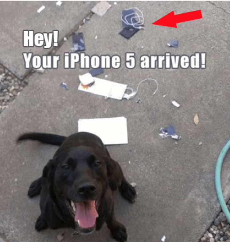 Black labrador dog that destroyed the new iPhone that came in the mail.