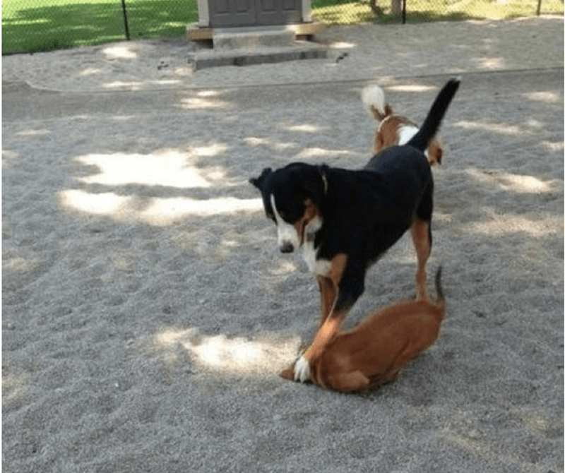 Dog burying another dogs face in the dir.