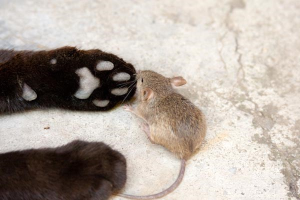 Mouse smelling the cat's paws.