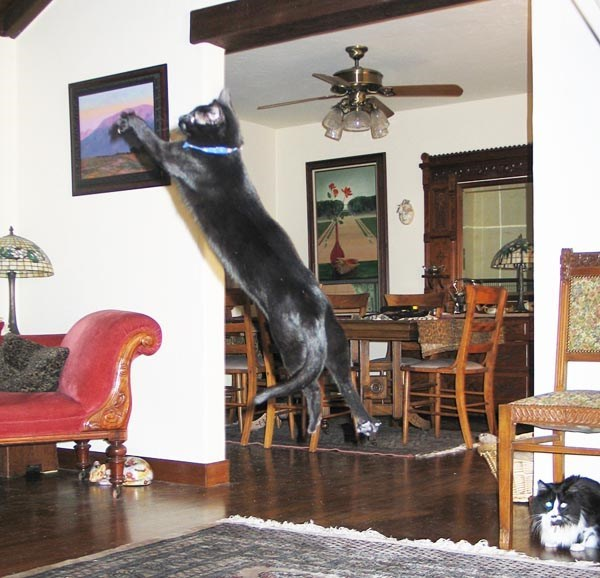 cat flying in the air, indoors over hardwood floors.