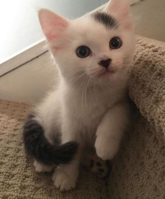 cute kitten with black spot on his forehead