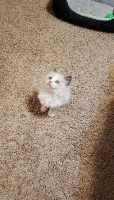 cute kitten on the carpet looking upwards