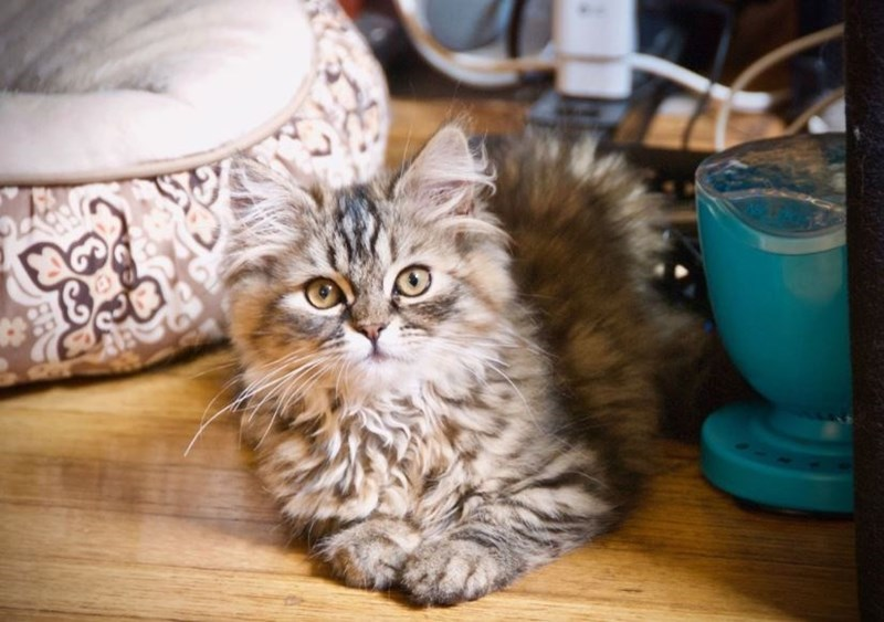 fluffy kitten on a wooden floor