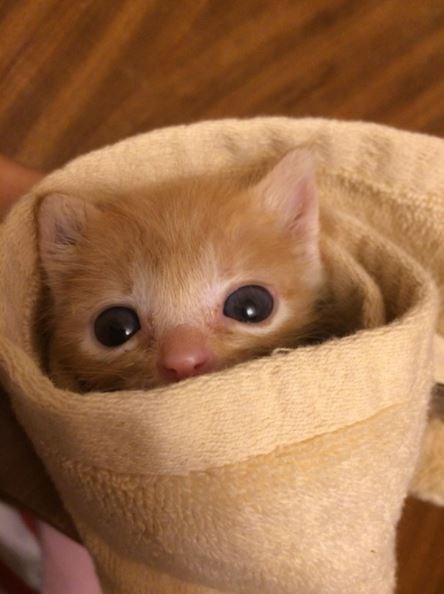 Kitten snuggling and hiding in a rolled up towel