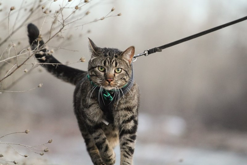 Jasper the adventure cat from Idaho, being walked on a leash