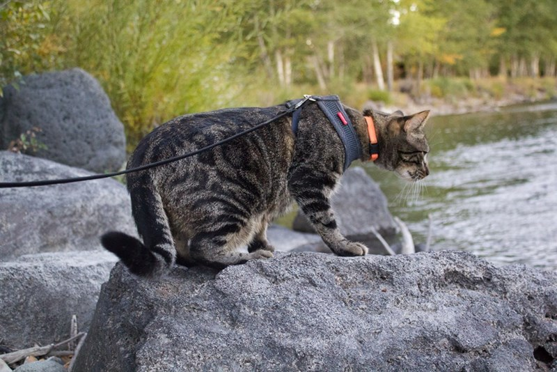 Jasper the adventure cat on a large rock in the river, checking out the flower water around him