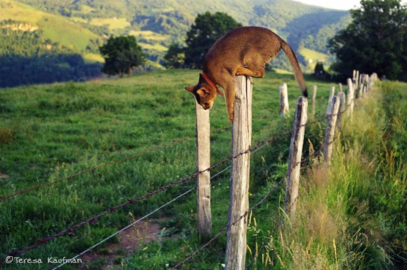 cat on a fence about to jump off into the wilderness