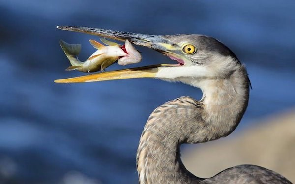 Perfectly timed photo of fish flapping in the mouth of a bird.