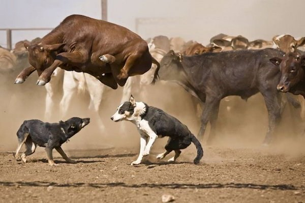 Great timing photo of bull jumping in the air over two dogs.