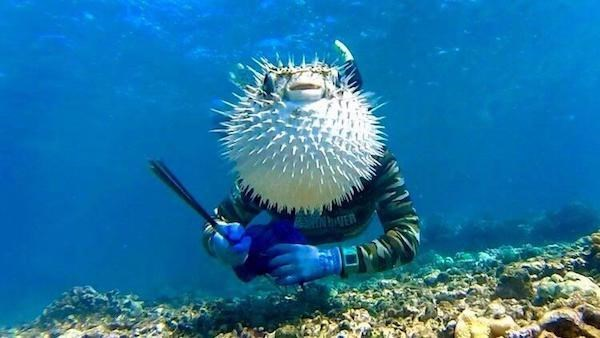 Blowfish perfectly timed photo looks like he has body of diver.
