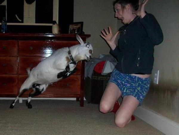 perfect timing goat picture