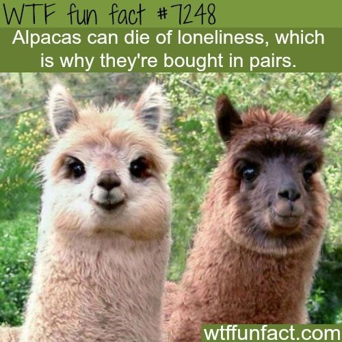 Vertebrate - WTF fun fact # 1248 Alpacas can die of loneliness, which is why they're bought in pairs. wtffunfact.com