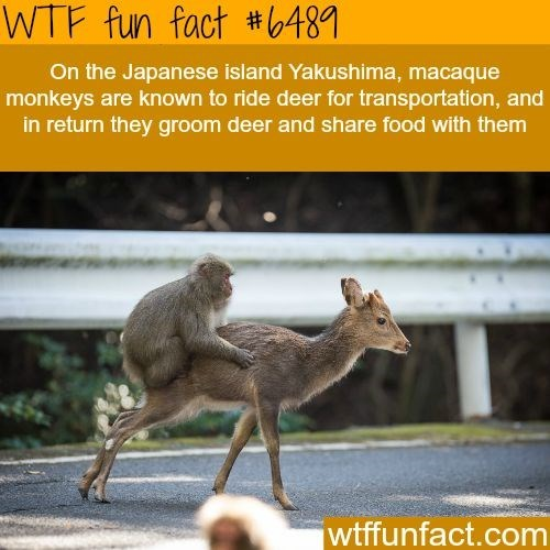 Wildlife - WTF fun fact #6481 On the Japanese island Yakushima, macaque monkeys are known to ride deer for transportation, and in return they groom deer and share food with them wtffunfact.com