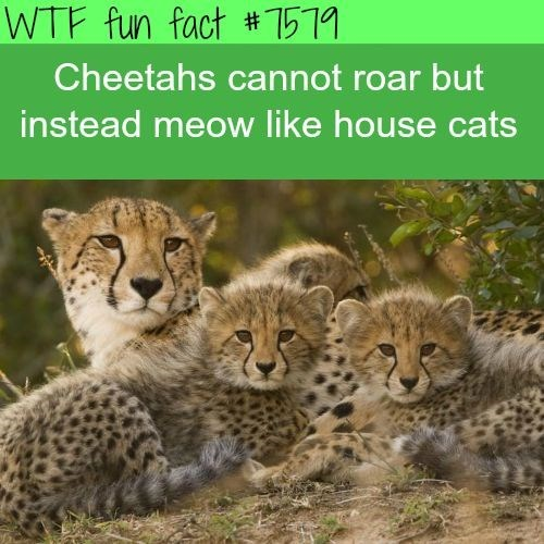 Terrestrial animal - WTF fun fact #1519 Cheetahs cannot roar but instead meow like house cats