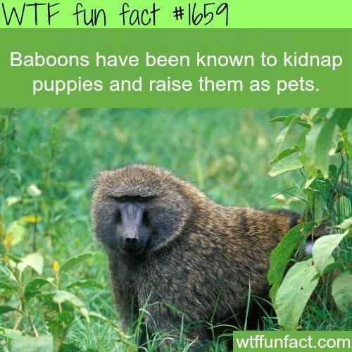 Vertebrate - WTF fun fact # 659 Baboons have been known to kidnap puppies and raise them as pets. wtffunfact.com