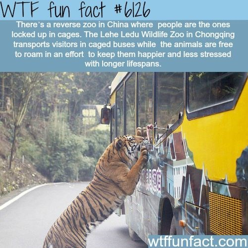 Bengal tiger - WTF fun fact #126 There's a reverse zoo in China where people are the ones locked up in cages. The Lehe Ledu Wildlife Zoo in Chongqing transports visitors in caged buses while the animals are to roam in an effort to keep them happier and less stressed with longer lifespans. free wtffunfact.com