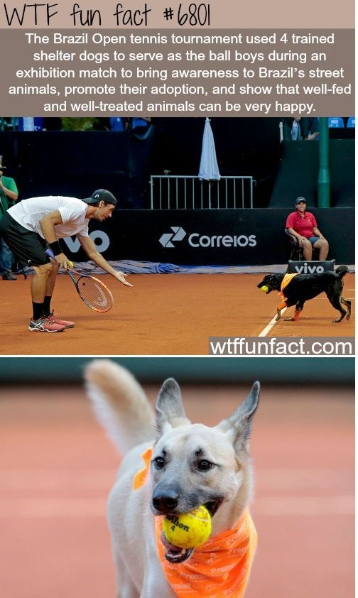 Dog breed - WTF fun fact #801 The Brazil Open tennis tournament used 4 trained shelter dogs to serve as the ball boys during an exhibition match to bring awareness to Brazil's street animals, promote their adoption, and show that well-fed and well-treated animals can be very happy. Correios yivo wtffunfact.com Preh negt Prem