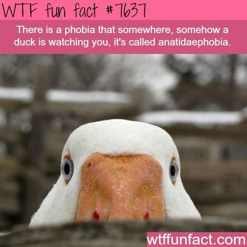Bird - WTF fun fact #T631 There is a phobia that somewhere, somehow a duck is watching you, it's called anatidaephobia. wtffunfact.com