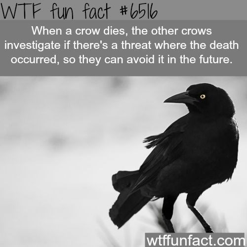 Bird - WTF fun fact #5|0 When a crow dies, the other crows investigate if there's a threat where the death oCcurred, so they can avoid it in the future. wtffunfact.com