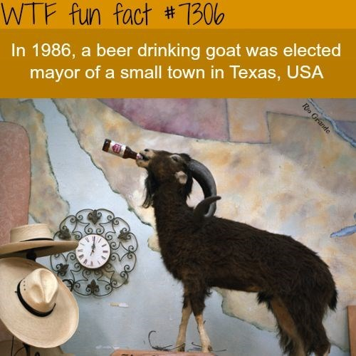 Goats - WTF fun fact #1300 In 1986, a beer drinking goat was elected mayor of a small town in Texas, USA Rio Grande