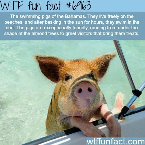 Domestic pig - WTF fun fact #6%3 The swimming pigs of the Bahamas. They live freely on the beaches, and after basking in the sun for hours, they swim in the surf. The pigs are exceptionally friendly, running from under the shade of the almond trees to greet visitors that bring them treats. wtffunfact.com