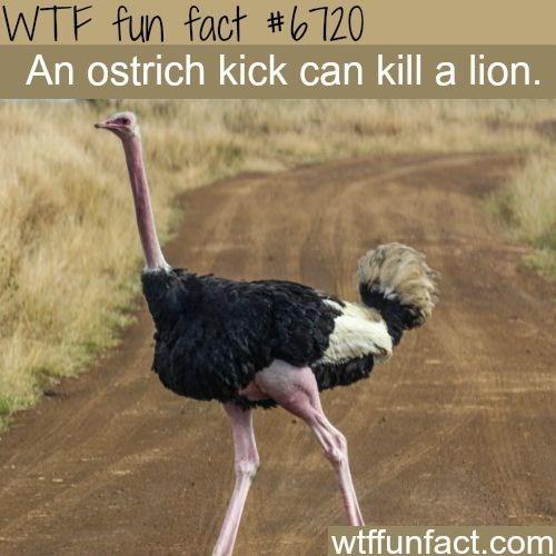 Ostrich - WTF fun fact #b120 An ostrich kick can kill a lion. wtffunfact.com