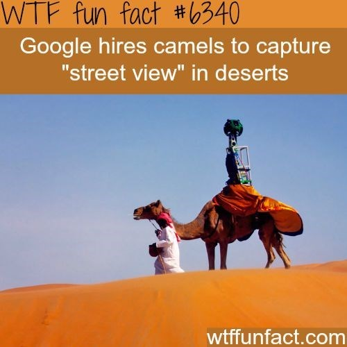"Camel - WTF fun fact #6340 Google hires camels to capture ""street view"" in deserts wtffunfact.com"