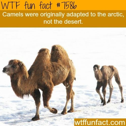 Camel - WTF fun fact #7586 Camels were originally adapted to the arctic, not the desert. wtffunfact.com