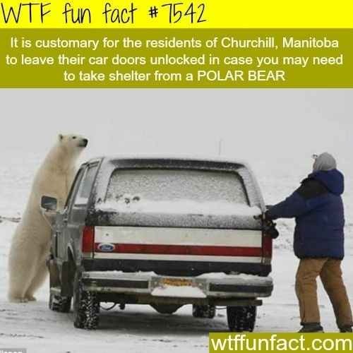 Motor vehicle - WTF fun fact # 542 It is customary for the residents of Churchill, Manitoba to leave their car doors unlocked in case you may need to take shelter from a POLAR BEAR wtffunfact.com