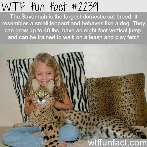 Felidae - WTF fun fact #2239 The Savannah is the largest domestic cat breed. It resembles a small leopard and behaves like a dog. They can grow up to 40 lbs, have an eight foot vertical jump, and can be trained to walk on a leash and play fetch wtffunfact.com