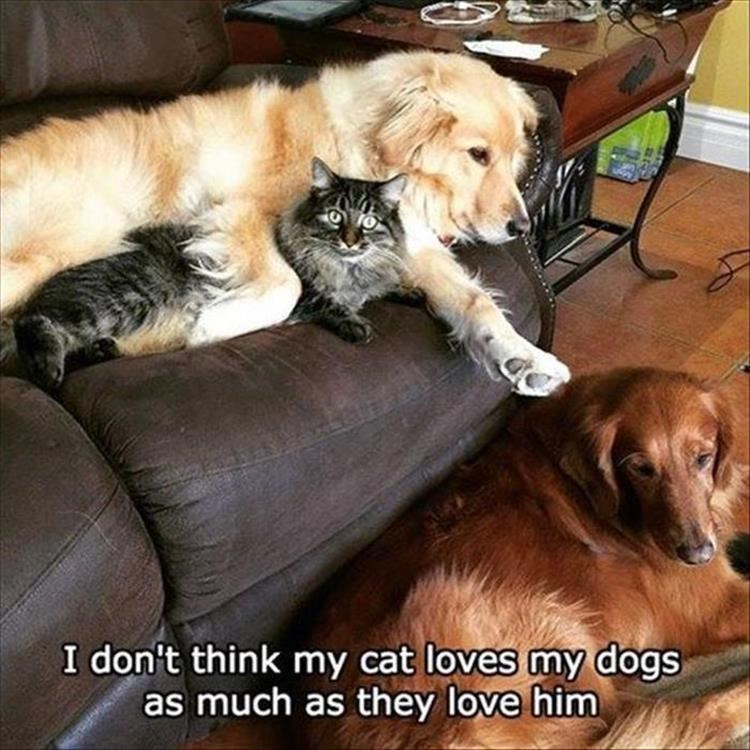 Caturday meme of a cat forced to snuggle with dogs